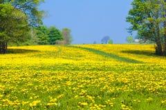 Dandelion flower field. Summer dandelions meadow. Royalty Free Stock Photos