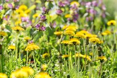 Dandelion flower, flowering wild flowers in meadow. Beautiful nature in spring Stock Photo
