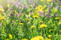 Dandelion flower, flowering wild flowers in meadow, in spring. Dandelion flower and purple flowers, flowering wild flowers in spring springtime Royalty Free Stock Image