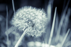 Dandelion flower with fluff, blue toned. Monochrome macro photo with selective focus Stock Photos