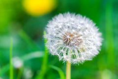 Dandelion flower with fluff, closeup photo Stock Photos