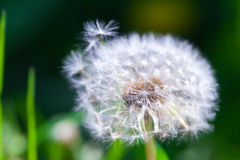 Dandelion flower with fluff, macro Royalty Free Stock Photography