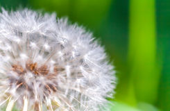 Dandelion flower with fluff, macro photo Royalty Free Stock Photography