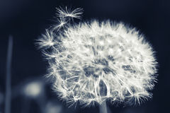 Dandelion flower with fluff, monochrome macro Royalty Free Stock Photos