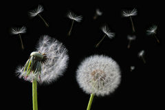 Dandelion flower and flying seeds Stock Photography