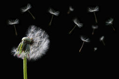 Dandelion flower and flying seeds Royalty Free Stock Photo