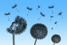 Dandelion flower and flying seeds on blue background. Dandelion flower and flying seeds on blue background royalty free stock image