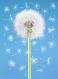 Dandelion flower with flying seeds on blue background. One object isolated. Spring concept. Royalty Free Stock Photo