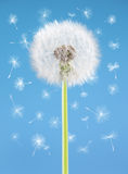 Dandelion flower with flying seeds on blue background. One object . Spring concept. Stock Photos