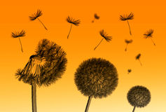 Dandelion flower and flying seeds on orange background. Dandelion flower and flying seeds on orange background stock photo