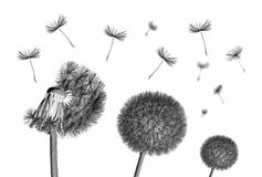 Dandelion flower and flying seeds on white background. Dandelion flower and flying seeds on white background royalty free stock images