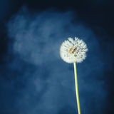 Dandelion flower on fog background. Dandelion flower on blue fog background Stock Image