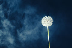 Dandelion flower on fog background. Dandelion flower on blue fog background Stock Photos