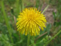 Dandelion flower. In the foreground, blurry green background royalty free stock images