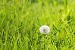 Dandelion flower and fresh grass field. Sunny day, spring time. Ecological green energy concept. soft focus, copy space Royalty Free Stock Photo