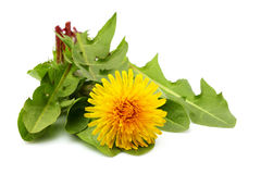 Dandelion flower with fresh leaves isolated on white background. Dandelion flower with fresh leaves in a bundle isolated on white background royalty free stock image