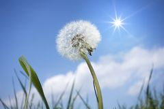 A dandelion flower in front of the blue sky. An image of a dandelion flower in front of the blue sky Stock Image