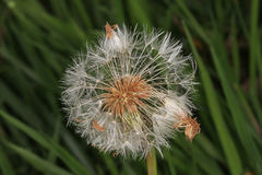 Dandelion flower gone to seed Royalty Free Stock Photo