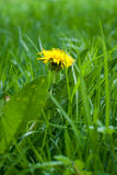Dandelion flower. In the grass Royalty Free Stock Photo