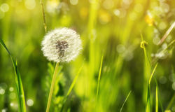 Dandelion flower on green background Royalty Free Stock Images