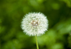 Dandelion flower. On a green background. Coarsely Stock Photos