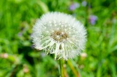 Dandelion flower on green background royalty free stock photo