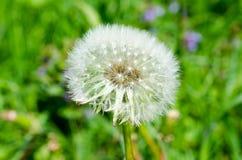 Dandelion flower on green background royalty free stock photo