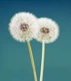 Dandelion flower on green blue color background, many closeup object Stock Images