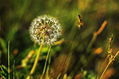 Dandelion flower on green blur background. Close-up of seeded dandelion head. stock photography