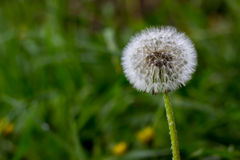 Dandelion. Flower on green blurred background, soft of field Stock Image