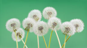 Dandelion flower on green color background, object on blank space backdrop, nature and spring season concept. Stock Photos