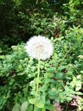 Dandelion. Flower in a green forest in Finland stock photo