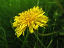 Dandelion flower in grass. Dandelion flower with green grass as background Royalty Free Stock Images