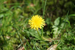 Dandelion flower on green grass. In Sunny day Royalty Free Stock Photos