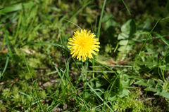 Dandelion flower on green grass. In Sunny day Stock Images