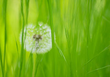 Dandelion Flower  in a Green Meadow Royalty Free Stock Image