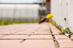 Dandelion with flower growing in a crack sidewalks. Dandelion with flower growing in a sidewalks royalty free stock image