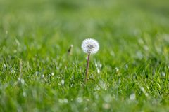 Dandelion flower growing among spring grass, macro detail of dandelion, up close dandelion royalty free stock images