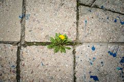 Dandelion flower grows between crack the of ild granite stock photos