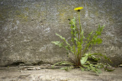 Dandelion with flower,growth of concrete Stock Photography