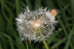 Dandelion flower that has gone to seed. Royalty Free Stock Photography