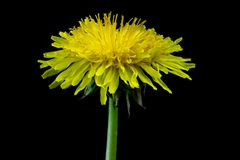 Dandelion Flower Head on a Black Background. Dandelion flower head isolated against a black background royalty free stock photos