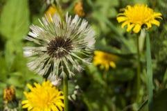 Dandelion flower head closeup Stock Images