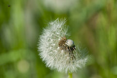Dandelion flower head floret seed feathers meadow. Dandelion flower head floret seed feathers in a meadow Stock Images