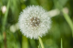 Dandelion flower head floret seed feathers meadow. Dandelion flower head floret seed feathers in a meadow Royalty Free Stock Photography