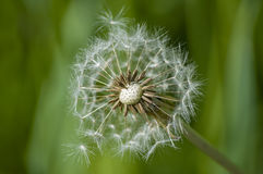 Dandelion flower head floret seed feathers meadow. Dandelion flower head floret seed feathers in a meadow Stock Photos