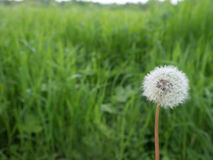 Dandelion flower head with green backround landscape Royalty Free Stock Photo