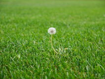 Dandelion flower head in nice lawn. Photo shows a dandelion flower head in nice lawn area forgot after mowing Royalty Free Stock Images