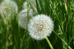 A dandelion flower head. A dandelion flower head on a sunny summer day Royalty Free Stock Photo