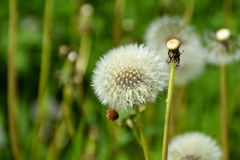 A dandelion flower head. A dandelion flower head on a sunny summer day Royalty Free Stock Images